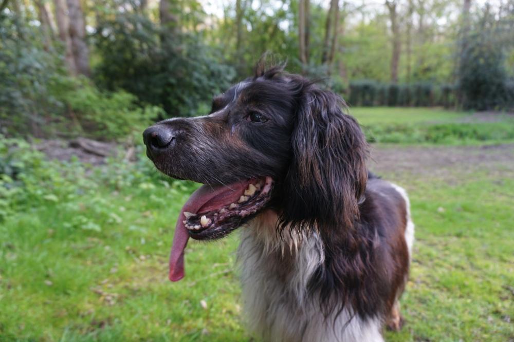 jachthond met enorme tong, hond koelt af door tong