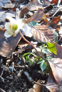 eenzaam bloeiend russen dor blad