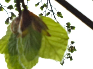 berkenblad komt uit de vouw