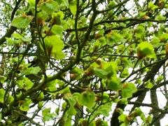 groene beuk loopt uit