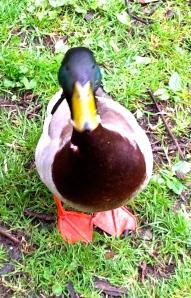 mannetjeseend eend kijkt je aan, hallo
