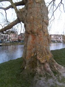 oude bomen, korstmossen