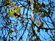 oude bomen, kastagne