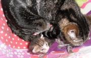 kittens, poesjes moederpoes
