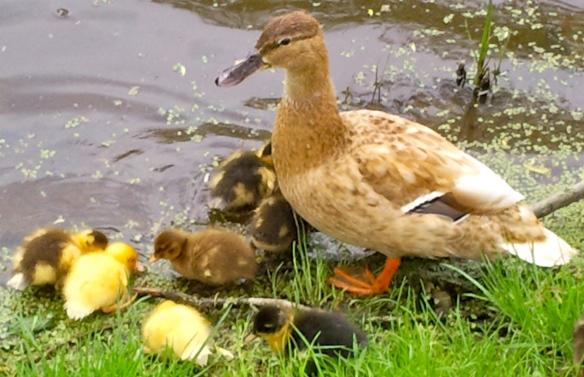 moeder eend met kleine eendjes, vijver, baby eendjes, gle en bruine kleien eendjes, lente jonge eendjes