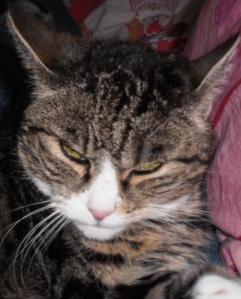 Snuitje, cyperse kat, close up