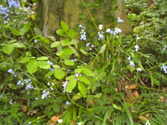 sprookjesbos, lente, fluitekruid, allium, bloeien bos, boshyacintjes, bos, feeëriek