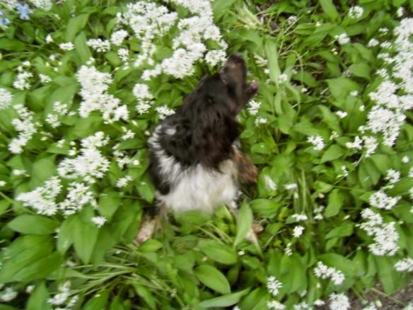 sprookjesbos, lente, fluitekruid, allium, bloeien bos, boshyacintjes, bos, feeëriek, hondje