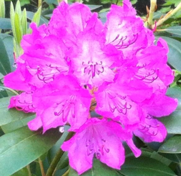 Rhododendrons, bloeiend, kleurig