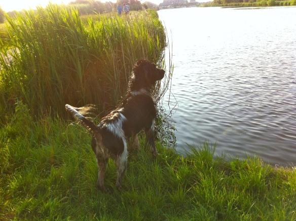 hond zwemmen, balletje, spelen, kletsnat