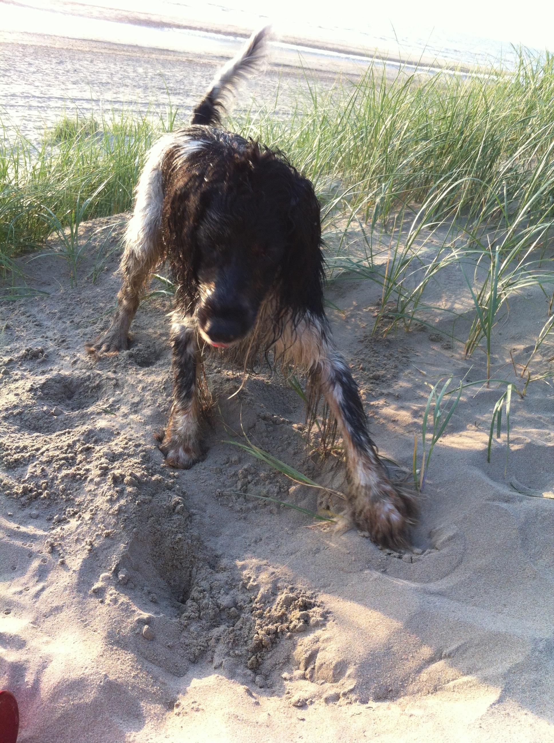 nat hondje, strand, kuil graven