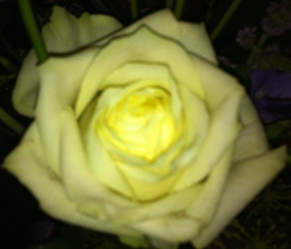 geurende witte roos