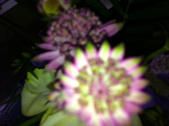 Zeeuws knoopje bloem