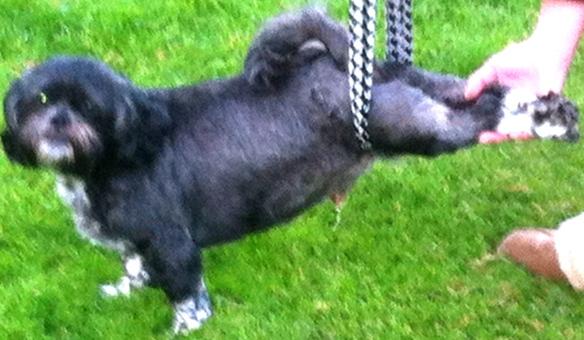 Billy en Lilly, kleine hondjes, hondje met hernia