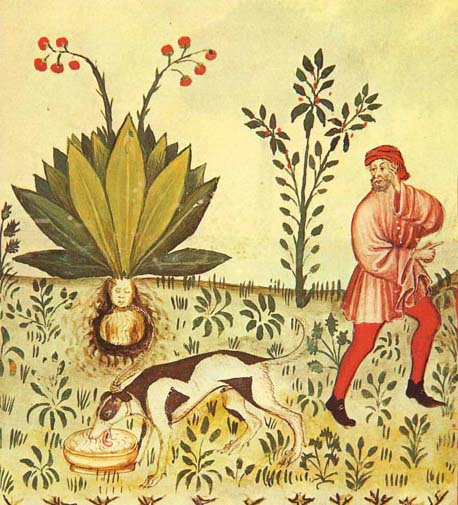 Mandragora Tacuinum Sanitatis, plantmannetjes