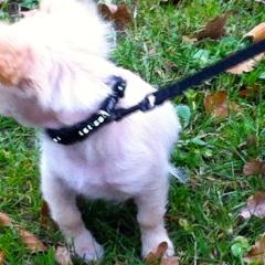 Chihuahua-pup , leuke pup