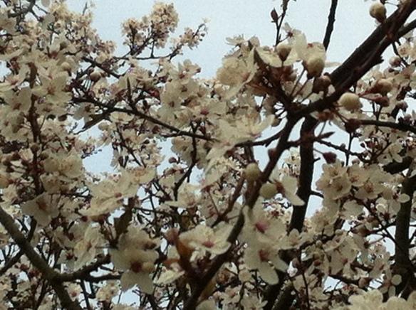 bloesem, krentenboompje, bloeiende boom, bloesem in februari, witte bloesem, blauwe lucht, winterbloesem