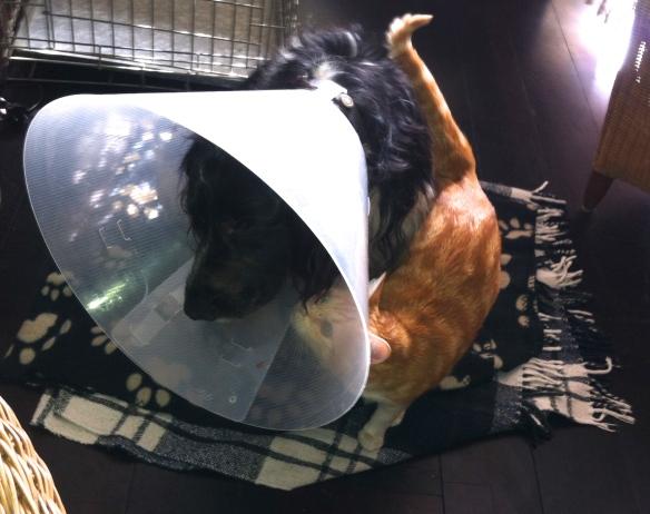Ysbrandt, hond met lampenkap, kraag, witte kraag, balende hond, rode kat met hond en kraag