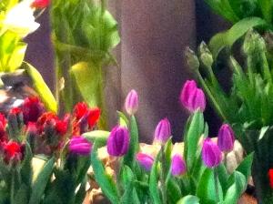 rode papagaaientulpen, roze tulpen
