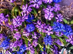 hyacinten, hyacints