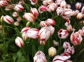 white and pink tulips, wit rose tulpen