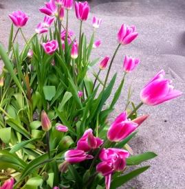 roze tulpen, pink tulips