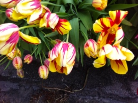 geel rode tulpen, yellow red tulips