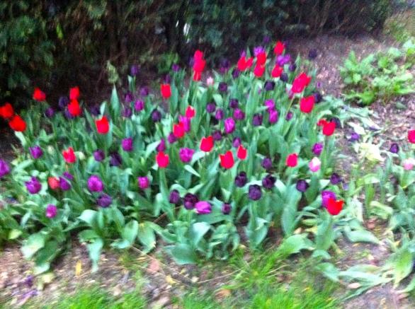 tulpen, zwart oranje rood