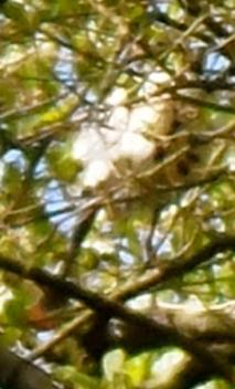 lepelaar, broedende lepelaar op nest, parende lepelaars