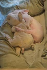 slapende verliefde varkens, biggetjes