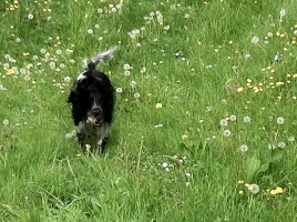 hondje rollend  in gras