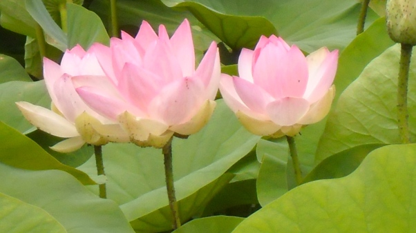 lotus, no mud no lotus, lotusflower