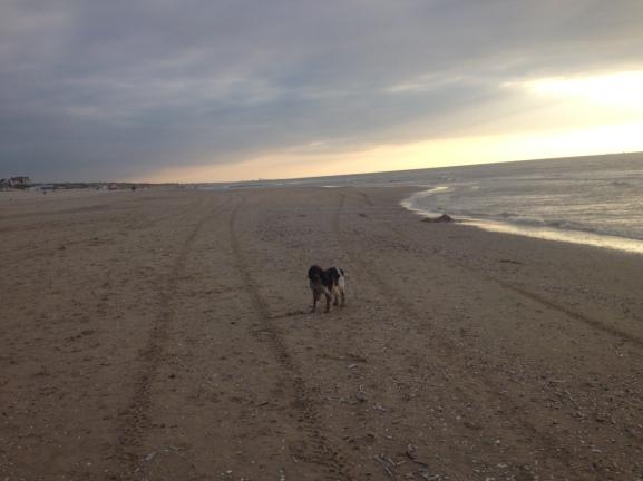 ysbrandt, hondje in de duinen, achter een balletje, op het strand, zonsondergang, jachthondje, mooie lucht, mooi licht, tong uit bek, rennende hond,