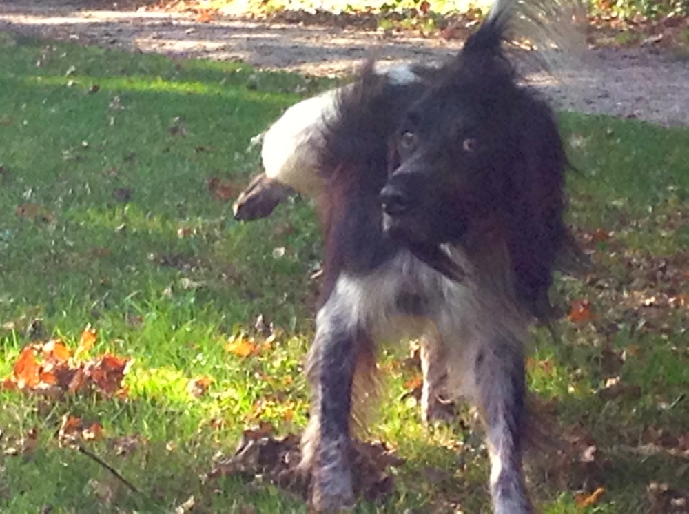 hondje, spelende hond, park met hond, wit/zwarte hond, hondjes, plassend hondje