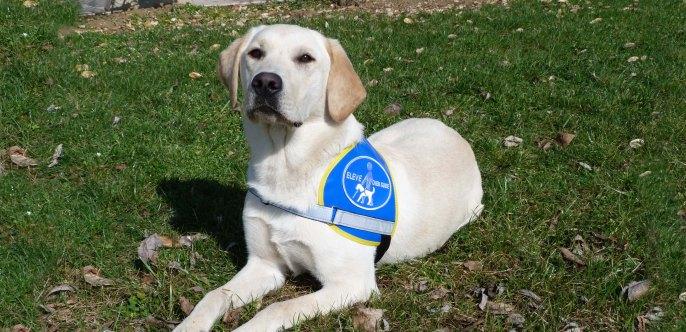 Guide Dog,blindengeleidehonden , hulphonden, hond is je beste vriend