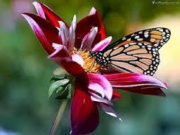 vlinder op bloem, butterfly on flower, papillon et fleur