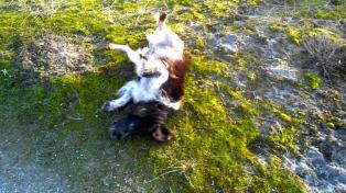 HONDJE, in duinen, spelen, rollebollen, gifgroen mos, kruising engelse springer spaniel en epagneul breton