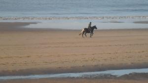 Strand, mooi weer, zon, paard in galop, kruising engelse springer spaniel en epagneul breton, met man