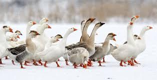 donzen dekbed, oostenrijk, veren, ganzenpen, eendendons