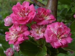 rode Meidoorn, bloeiend, Meidoorn, besjes en bloemetjes