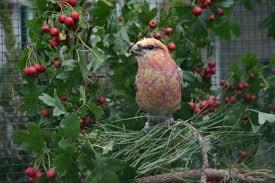 broedende vogels, houtduiven, rode Meidoorn, bloeiend, Meidoorn, besjes en bloemetjes