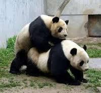 NEUKENDE panda, VRIJDENDE panda