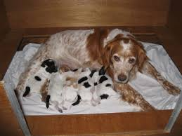 puppy, puppies, jonge honden,
