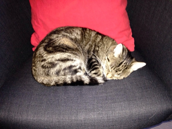 Cyperse kat, SiepCyperse kat, Siep, mooi poesje,  slapend
