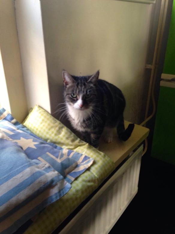 Cyperse kat, Siep, mooi poesje,  op de uitkijk voor het raam