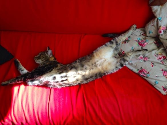 Cyperse kat, Siep, mooi poesje,  slapend , helemaal uitgerekt
