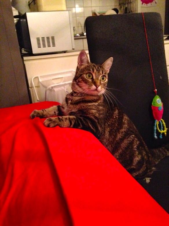Cyperse kat, Siep, mooi poesje,  alerte houding