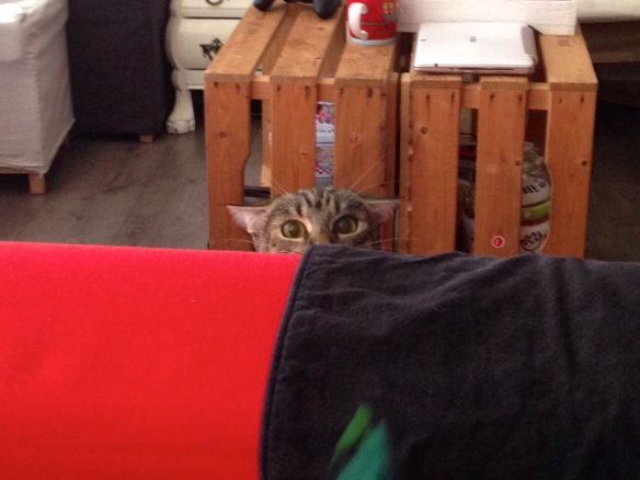 Cyperse kat, Siep, mooi poesje,  alerte houding, oren plat