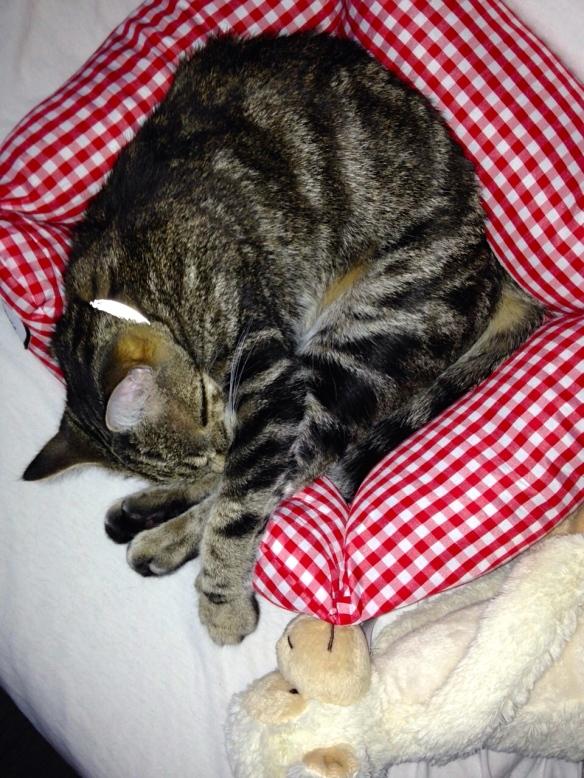 Cyperse kat, Siep, mooi poesje,  slapend in broodmand