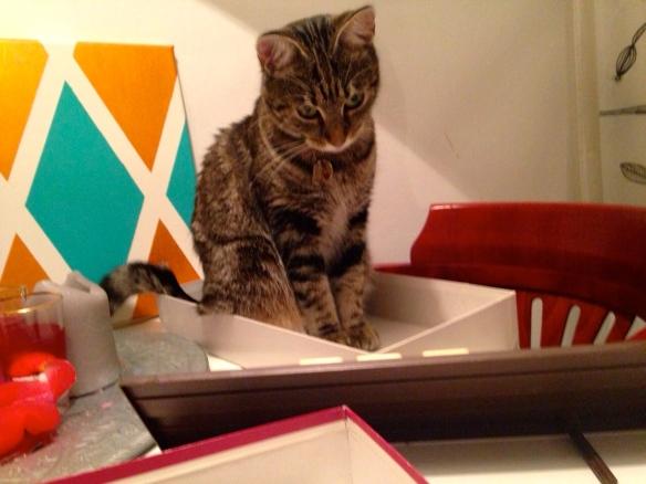 Cyperse kat, Siep, mooi poesje,  zittend op theeblad